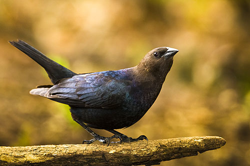 Brown-headed Cowbird
